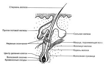 Строение волосяного фолликула